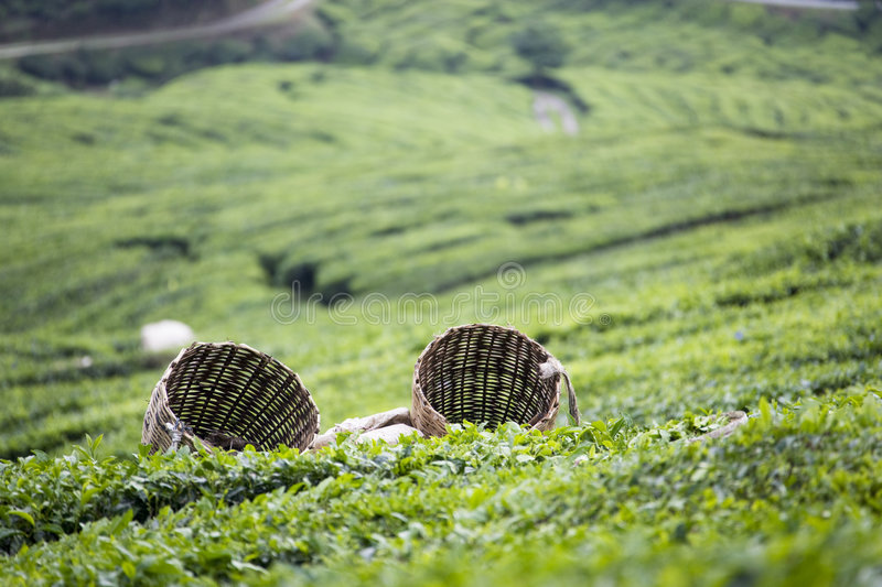 Tea Leaf Baskets royalty free stock image