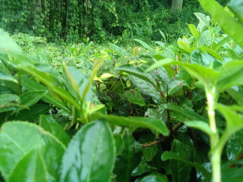 tea leaf stock image