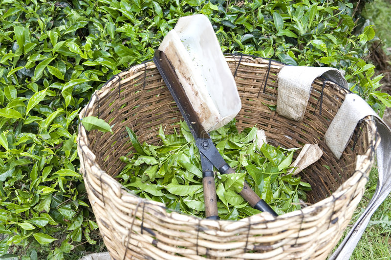 Tea Leaf Cutter and Basket royalty free stock photo