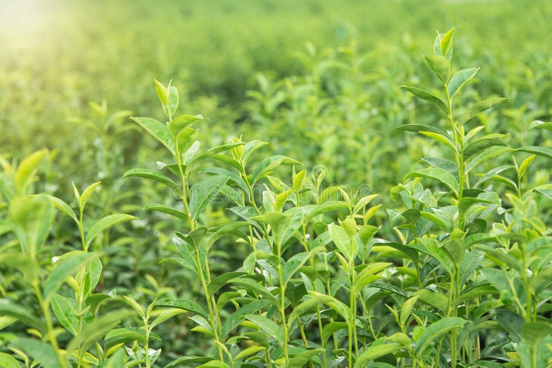 Tea leaf in the field. North of Thailand royalty free stock photography