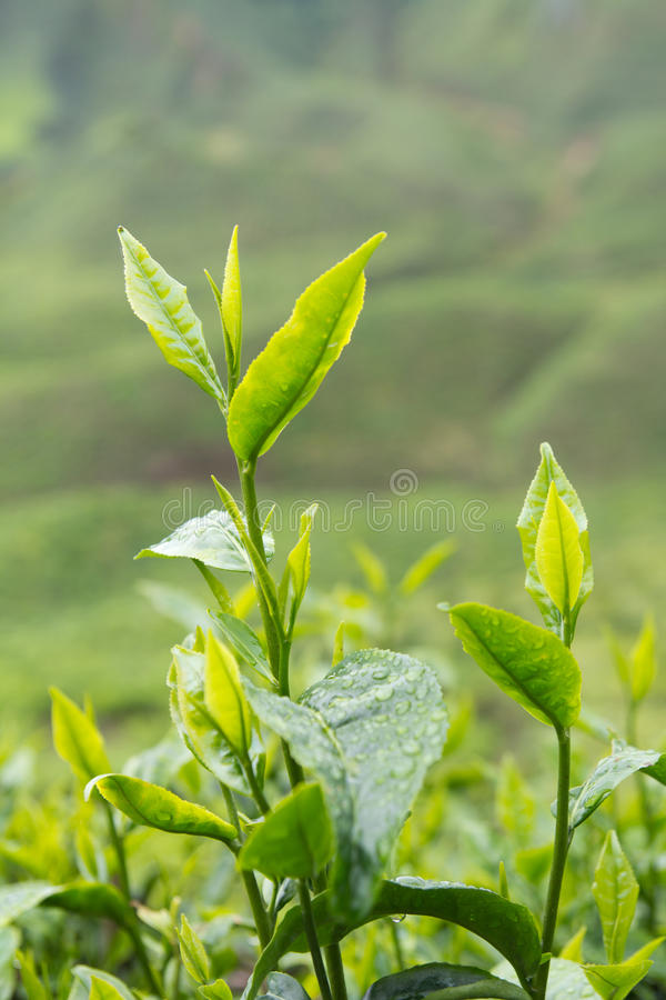 Download Tea leafs stock photo. Image of leaf, floral, farmland - 27464260
