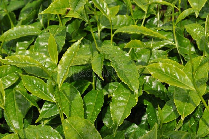 Tea leaves on the bush stock photos