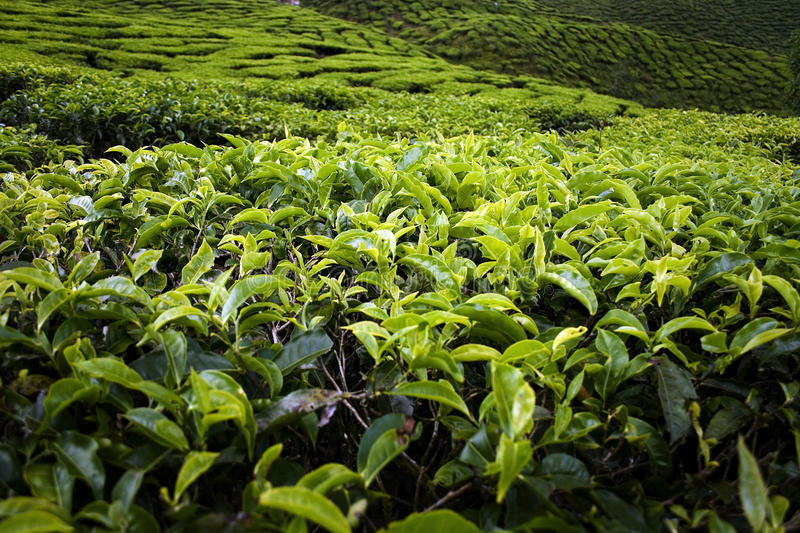 Tea leaves close up royalty free stock images