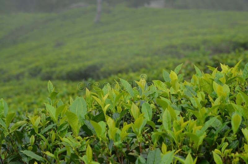 TEA LEAVES IN A LUSH TEA ESTATE royalty free stock image