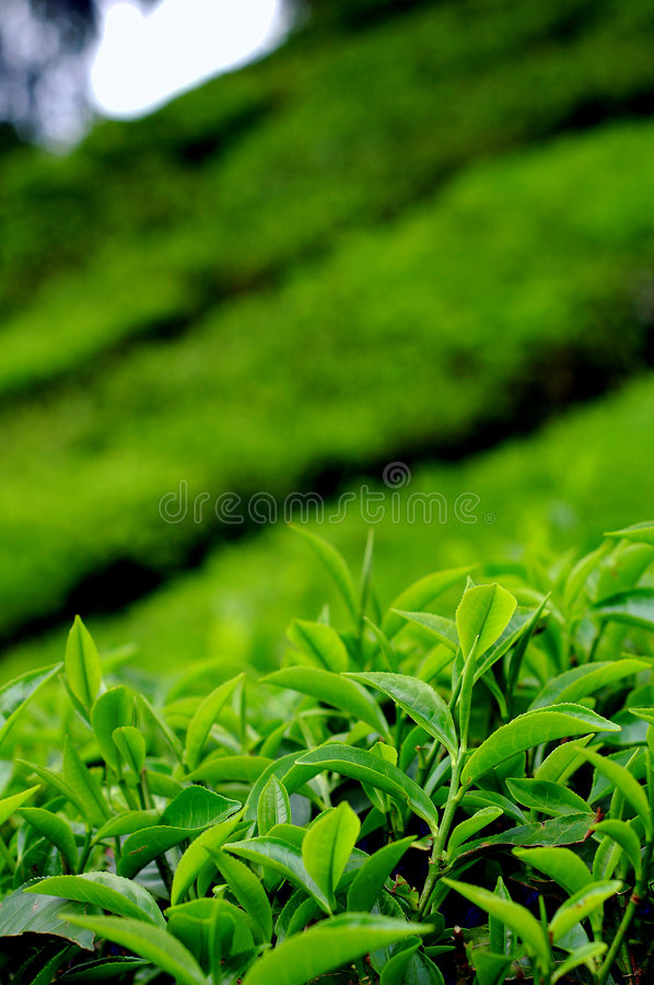 Tea leaves at a plantation royalty free stock images
