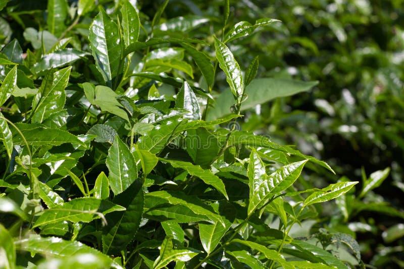 Tea leaves on plantation. Coonor, Nilgiri, India, Tamil Nadu royalty free stock photos