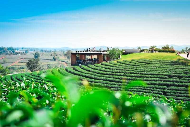 Tea plantation landscape with tea leaf and Travel place in Choui fong farm Chiang Rai Thailand. stock photography