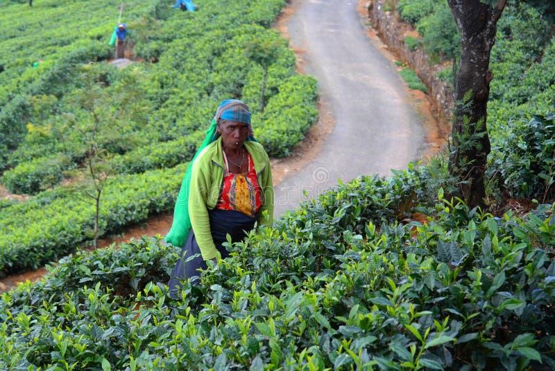 Tea picker royalty free stock photos