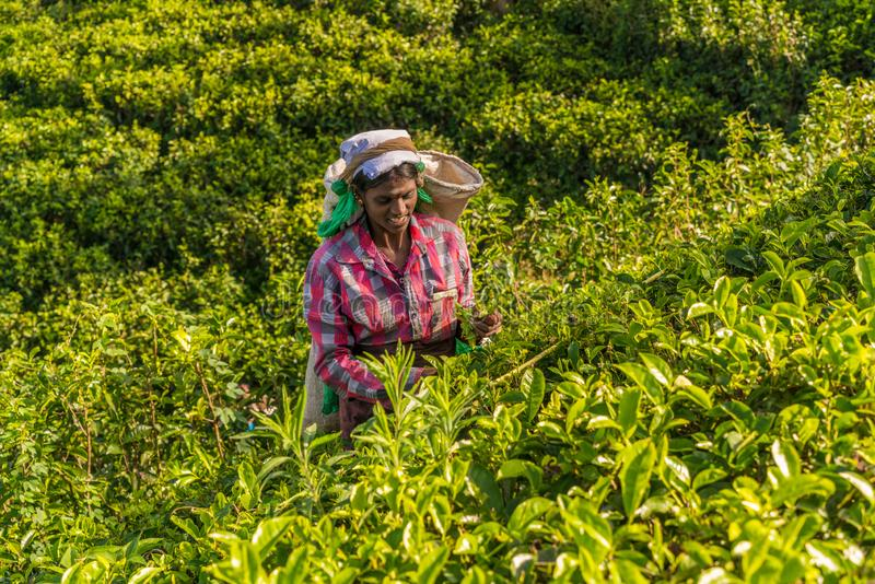 Tea pickers, Nuwara Eliya, Sri Lanka stock images