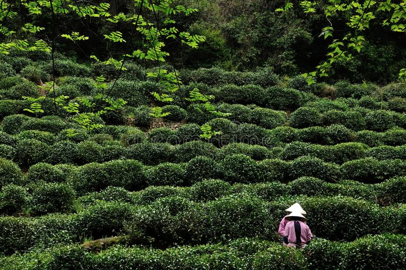 Tea picking, Hangzhou, China. Two young ladies pick tea-leaves, Hangzhou, China royalty free stock image