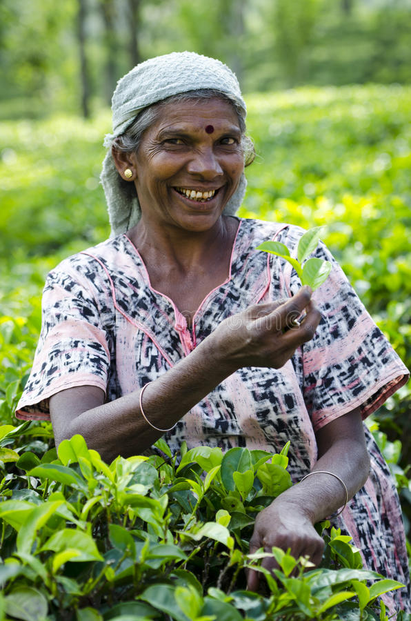 Tea picking in Sri Lanka hill country stock photos