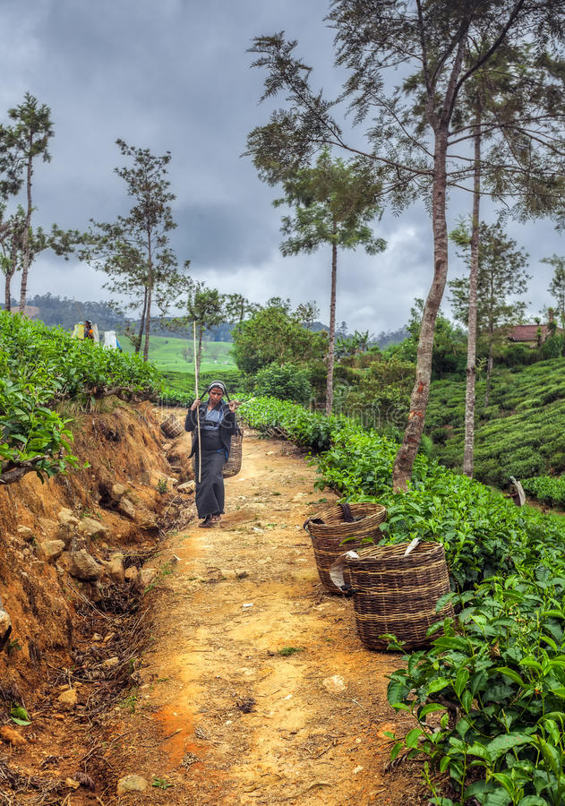 Tea picking in Sri Lanka hill country. Nuwara Eliya stock photography