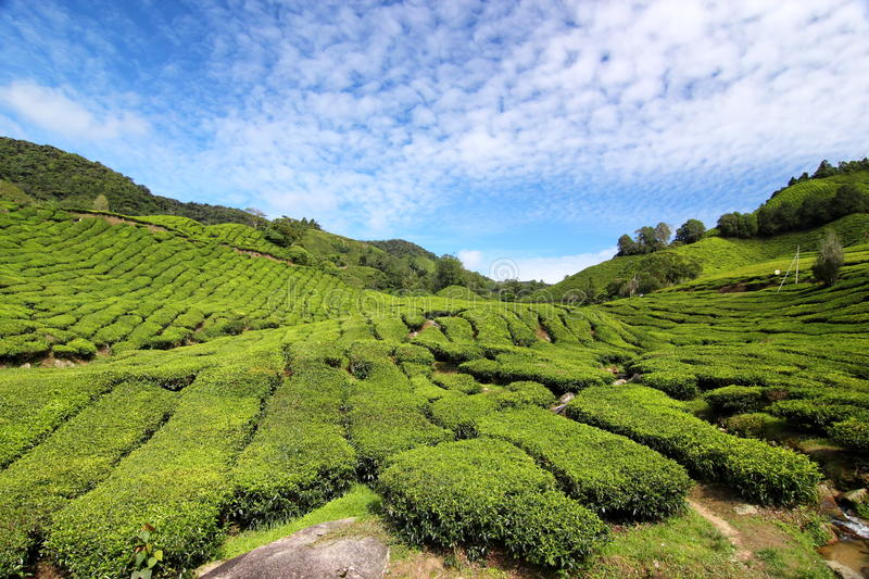Tea Plantation 01 royalty free stock photos