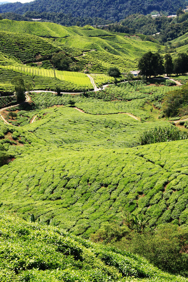 Download Tea Plantation stock image. Image of dusk, growth, morning - 10927737