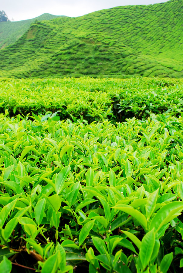 Download Tea plantation stock image. Image of asia, leaves, colors - 1456919