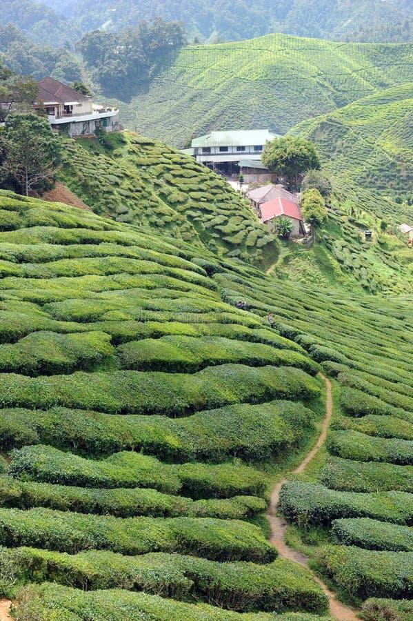 Download Tea plantation stock photo. Image of fresh, plantation - 18039682