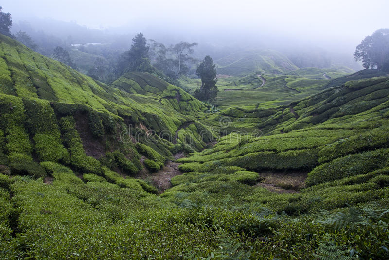 Download Tea Plantation stock photo. Image of plantation, layers - 19585378