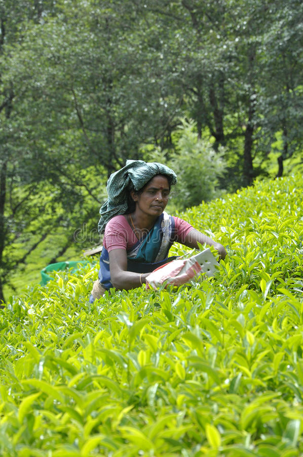 Download Tea plantation editorial photography. Image of asian - 19822622