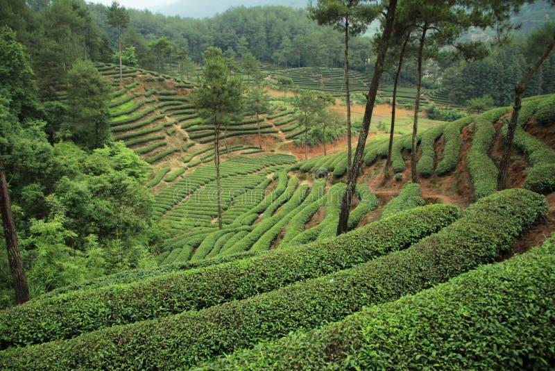 Download Tea plantation stock image. Image of rode, wuyi, black - 21188827