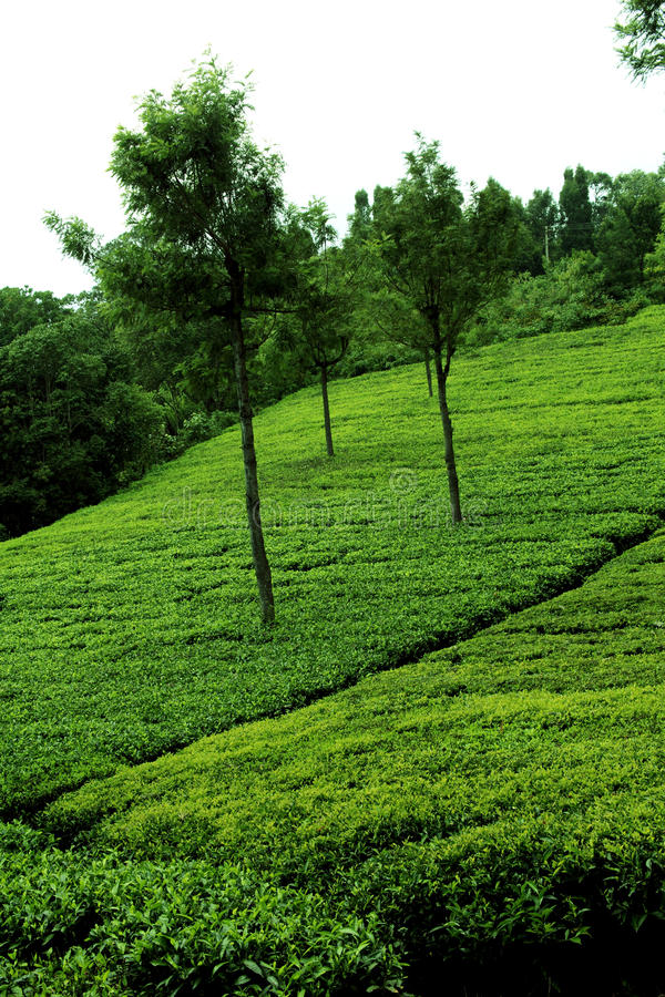 Download Tea plantation stock image. Image of highlands, daytime - 22240469