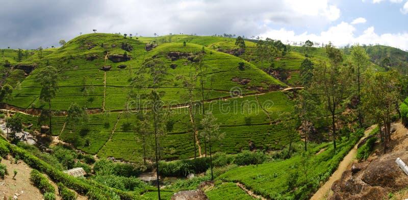 Download Tea plantation stock image. Image of rural, landscape - 22322133