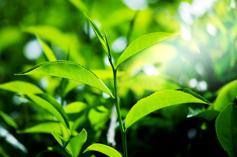 Download Tea plantation stock image. Image of asian, green, season - 25063827