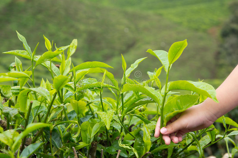 Download Tea plantation stock image. Image of field, cultivation - 27703007