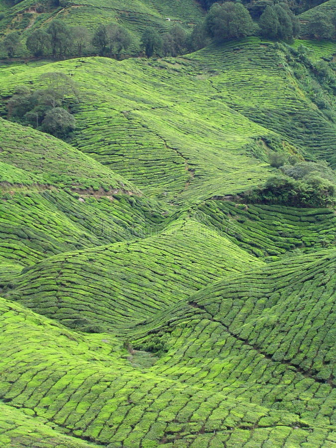 Free Tea Plantation Stock Photos - 3155493