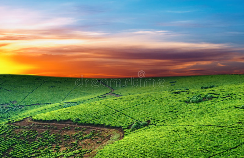 Download Tea plantation stock image. Image of environment, sunrise - 4604883