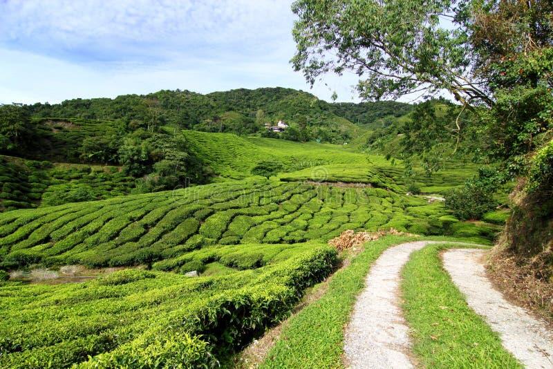 Tea Plantation with Access Road. Access road to tea plantation at Cameron Highlands, Malaysia stock photography