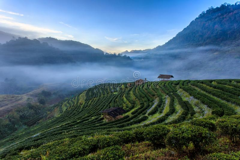 Tea plantation beautiful landscape famous tourist attraction at Doi at Doi Ang Khang Chiang Mai. Thailand stock photography