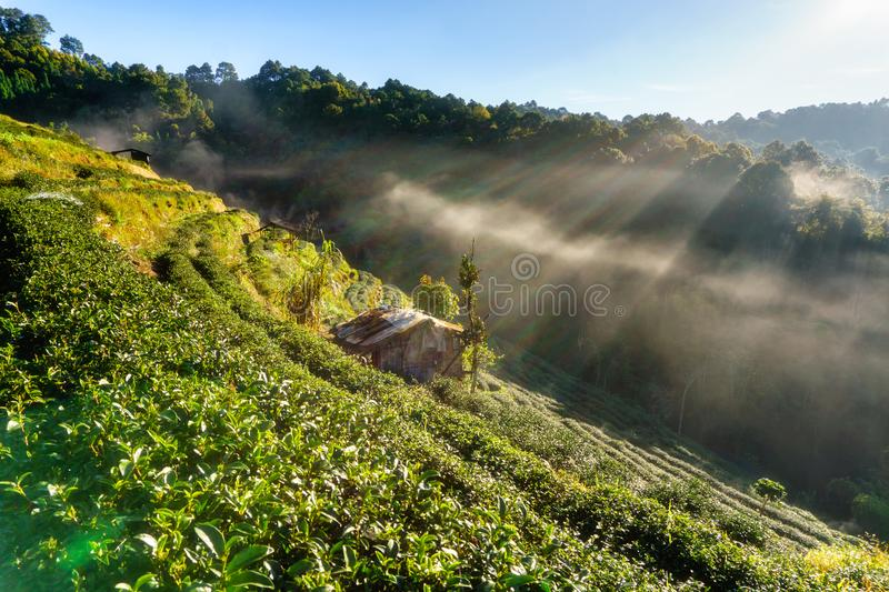 Tea plantation beautiful landscape famous tourist attraction at Doi at Doi Ang Khang. Chiang Mai, Thailand royalty free stock image