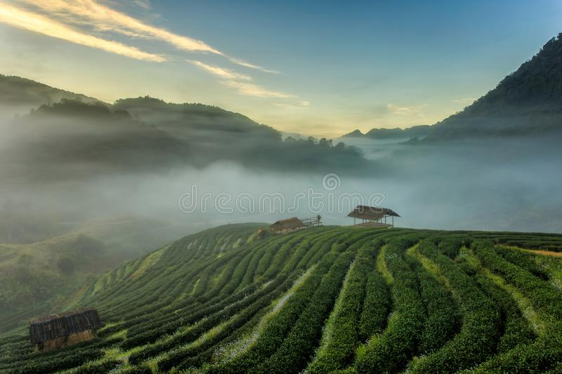 Tea plantation beautiful landscape famous tourist attraction at Doi at Doi Ang Khang. Chiang Mai, Thailand stock images