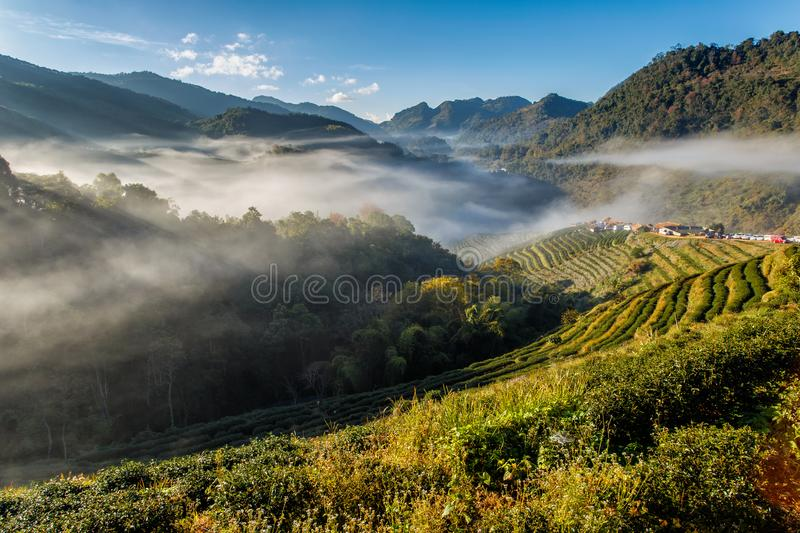 Tea plantation beautiful landscape famous tourist attraction at Doi at Doi Ang Khang. Chiang Mai Thailand royalty free stock image