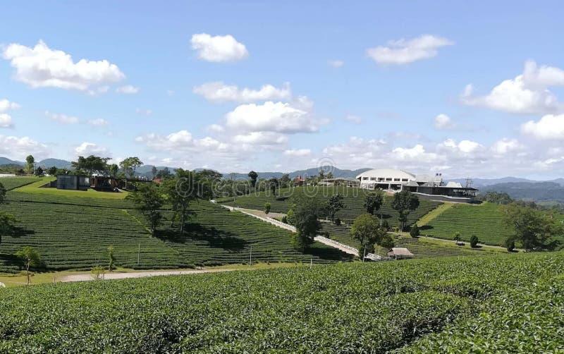 Tea plantations. The tea plantation is a beautiful stock images