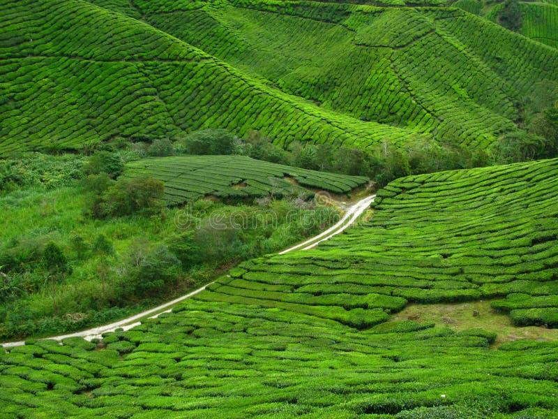 Tea Plantation in Cameron Highlands stock photos