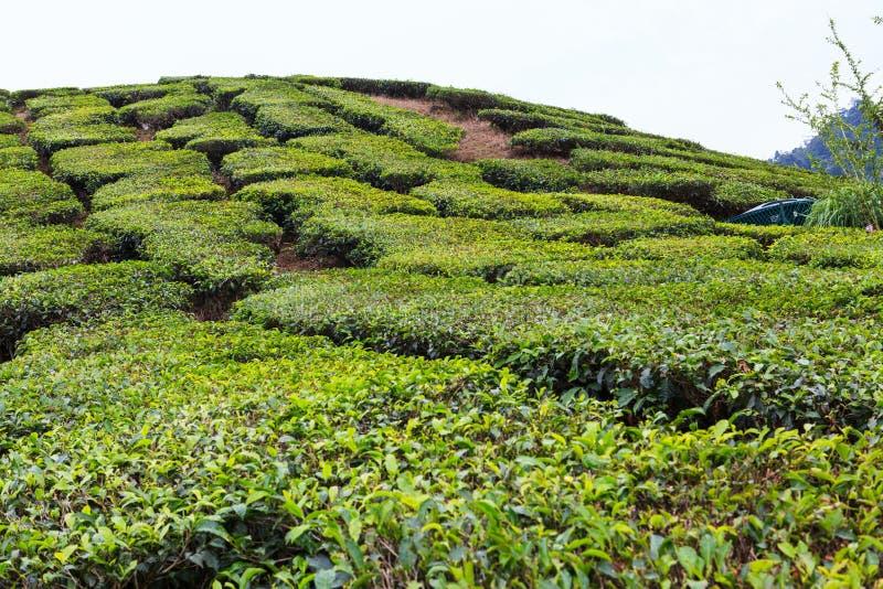 Tea plantation. Cameron highlands, Malaysia royalty free stock images