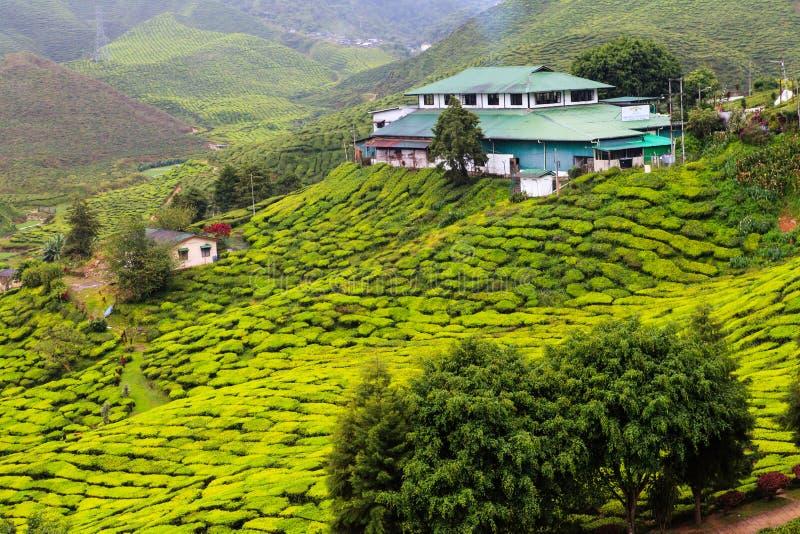 Tea plantation. Cameron highlands, Malaysia royalty free stock photography