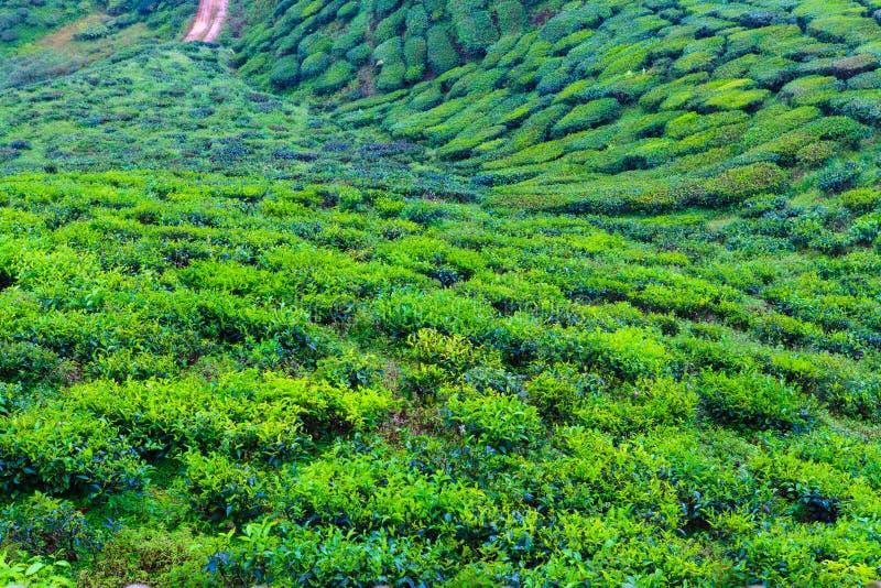 Tea plantation. Cameron highlands, Malaysia stock photography