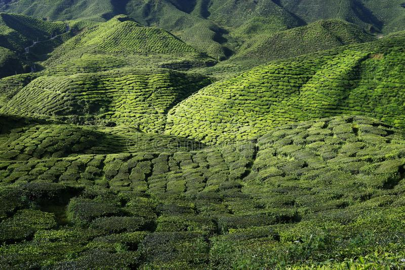 Hills Of Tea Plantation In Malaysia Stock Photo - Image of ...