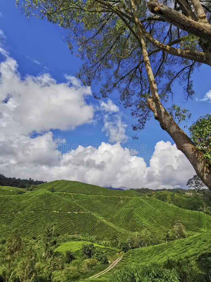 Tea plantation in Cameron Highlands, Pahang, Malaysia.. Tea plantation in Cameron Highlands, Pahang, Malaysia stock photography