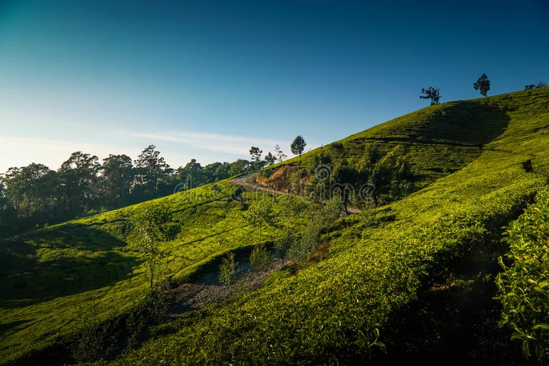 Tea plantation in Ciwidey, West Java, Indonesia. Green, fresh, nature, field, asia, agriculture, rural, leaf, farm, landscape, hill, tree, mountain, background stock photos