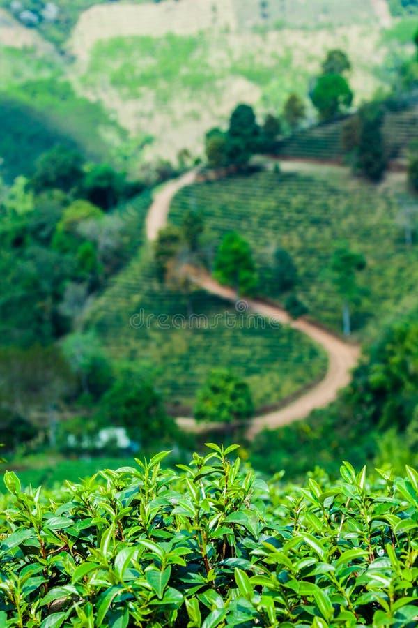 Tea plantation on the hill stock image