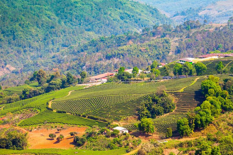 Tea plantation on the hill in Chiang Rai royalty free stock images