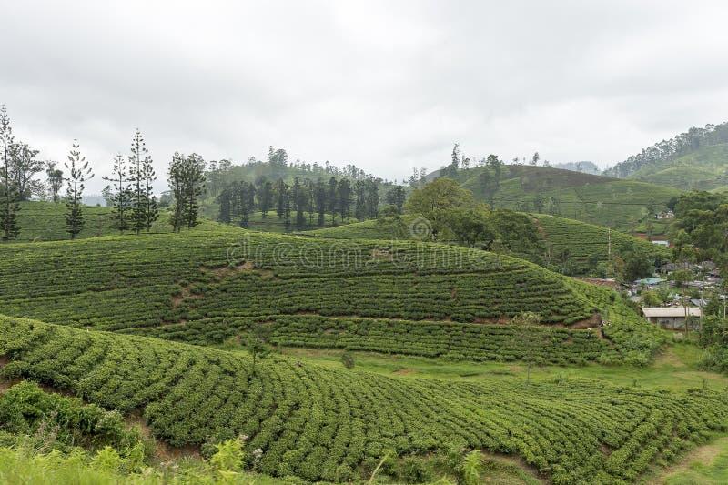 Tea plantation in hill country Sri Lanka royalty free stock photo