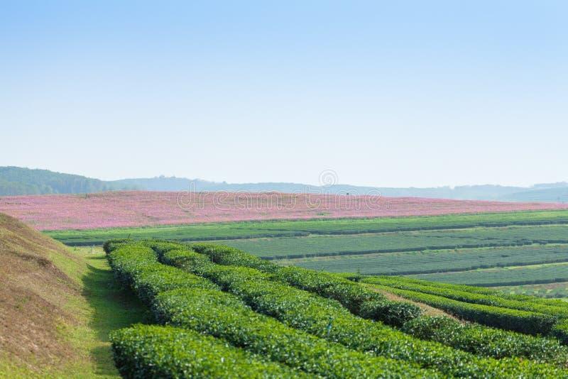 Tea plantation on the hill royalty free stock photography