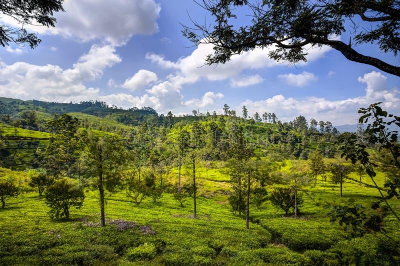 Tea plantations in Nuwara Eliya, Sri Lanka royalty free stock images