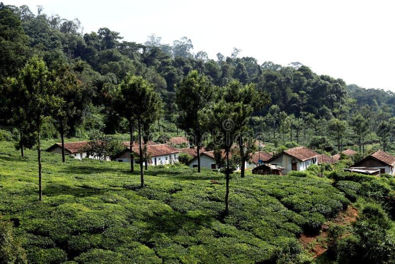 Tea Plantation,India Royalty Free Stock Image