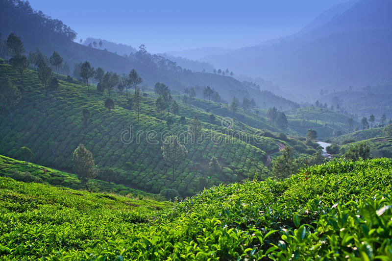 Tea plantation in Kerala, South India stock photography