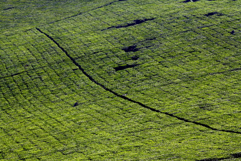 Download Tea Plantation Landscape stock image. Image of baskets - 19238631
